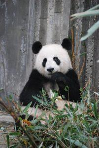 panda slots game